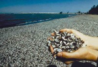 Zebra Mussels 3